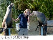 Two captive California sea lions (Zalophus californianus) performing... Стоковое фото, фотограф Eric Baccega / Nature Picture Library / Фотобанк Лори