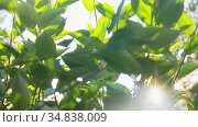 sun shining through branches with green leaves. Стоковое видео, видеограф Syda Productions / Фотобанк Лори