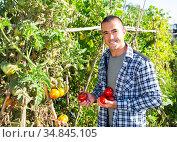 Young gardener harvesting ripe tomatoes at smallholding. Стоковое фото, фотограф Яков Филимонов / Фотобанк Лори