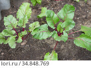 Young green beetroot plants. Beetroot growing. Organic beet roots growing. Стоковое фото, фотограф Nataliia Zhekova / Фотобанк Лори