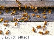 Домашние пчелы ползают около летка. Улей. Стоковое фото, фотограф Ирина Борсученко / Фотобанк Лори