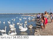 Люди кормят лебедей на озере Сасык-Сиваш в городе Евпатория, Крым. Редакционное фото, фотограф Николай Мухорин / Фотобанк Лори
