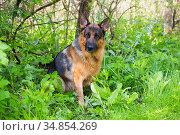 German shepherd dog sitting amongst spring foliage, Illinois, USA. Стоковое фото, фотограф Lynn M. Stone / Nature Picture Library / Фотобанк Лори