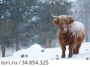 Highland cow in falling snow, Madison, Connecticut, USA. Стоковое фото, фотограф Lynn M. Stone / Nature Picture Library / Фотобанк Лори