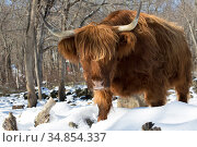 Highland cow in winter, Connecticut, USA. Стоковое фото, фотограф Lynn M. Stone / Nature Picture Library / Фотобанк Лори