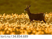 RF - Roe deer (Capreolus capreolus) feeding on dandelion seed heads... Стоковое фото, фотограф Andy Rouse / Nature Picture Library / Фотобанк Лори
