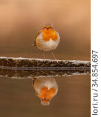 European robin (Erithacus rubecula) reflected in water, UK. December. Стоковое фото, фотограф Andy Rouse / Nature Picture Library / Фотобанк Лори