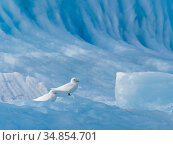 Ivory Gull (Pagophila eburnea) On iceberg Svalbard. Стоковое фото, фотограф Andy Rouse / Nature Picture Library / Фотобанк Лори