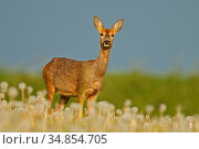 Roe deer (Capreolus capreolus) in late spring , UK. May. Стоковое фото, фотограф Andy Rouse / Nature Picture Library / Фотобанк Лори