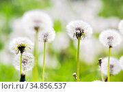Numerous dandelion heads against a green summer meadow on a clear day. Стоковое фото, фотограф Анна Гучек / Фотобанк Лори