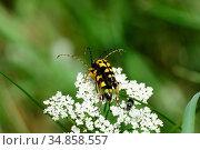 Spotted Longhorn Beetle, Stranglia macuilata, Cerambycidae, copulation... Стоковое фото, фотограф R. Kunz / age Fotostock / Фотобанк Лори