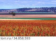 Sorghum, Poaceae, plantation, fields, near Coolah, NSW, Australia. Стоковое фото, фотограф R. Kunz / age Fotostock / Фотобанк Лори