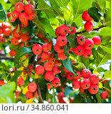 Красные мелкие райские яблоки на ветвях яблони крупным планом. Стоковое фото, фотограф E. O. / Фотобанк Лори