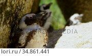 Young penguin bird on a rock 4k. Стоковое видео, агентство Wavebreak Media / Фотобанк Лори