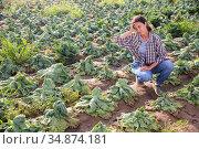 Female farmer examining savoy cabbage after drought on field. Стоковое фото, фотограф Яков Филимонов / Фотобанк Лори
