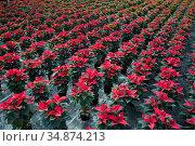Greenhouse with rows of Poinsettia. Стоковое фото, фотограф Яков Филимонов / Фотобанк Лори