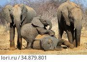 Elephant (Loxodonta africana) calves playing, Etosha National Park,Namibia. Редакционное фото, фотограф Tony Heald / Nature Picture Library / Фотобанк Лори