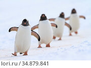 Gentoo penguins (Pygoscelis papua) walking in line, returning to nesting area, Port Charcot, Antarctic Peninsula, Antarctica. Стоковое фото, фотограф Jordi Chias / Nature Picture Library / Фотобанк Лори