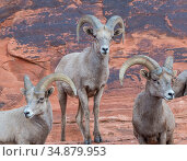 Bighorm sheep (Ovis canadensis) males grouped together before the rutting season. Valley of Fire State Park, Nevada, USA, February. Стоковое фото, фотограф Jack Dykinga / Nature Picture Library / Фотобанк Лори
