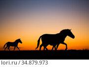 Przewalski horse (Equus ferus przewalskii), three including female... Стоковое фото, фотограф Cyril Ruoso / Nature Picture Library / Фотобанк Лори