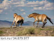 Przewalski horse (Equus ferus przewalskii) stallion chasing mare with... Стоковое фото, фотограф Cyril Ruoso / Nature Picture Library / Фотобанк Лори