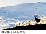 Red deer stag (Cervus elaphus) silhouetted against a snow covered mountain. Cairngorms National Park, Scotland, UK, February. Стоковое фото, фотограф SCOTLAND: The Big Picture / Nature Picture Library / Фотобанк Лори