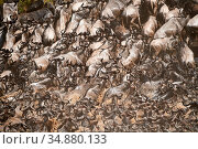 Eastern White-bearded Wildebeest herd (Connochaetes taurinus) climbing bank after crossing river. Masai Mara National Reserve, Kenya. Стоковое фото, фотограф Eric Baccega / Nature Picture Library / Фотобанк Лори