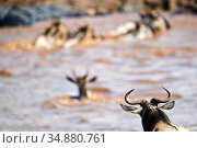 Eastern White-bearded Wildebeest (Connochaetes taurinus) herd swimming across Mara river through the eye of an adult, Masai Mara National Reserve, Kenya. Стоковое фото, фотограф Eric Baccega / Nature Picture Library / Фотобанк Лори