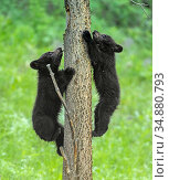 Black bear (Ursus americanus), two cubs playing, climbing up tree trunk. Yellowstone National Park, Wyoming, USA. June. Стоковое фото, фотограф George  Sanker / Nature Picture Library / Фотобанк Лори