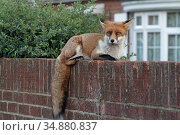 Red fox cub (Vulpes vulpes) on wall, Hampshire, England, UK, October. Стоковое фото, фотограф Peter Lewis / Nature Picture Library / Фотобанк Лори