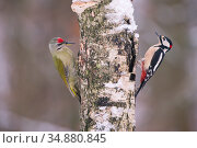 Great spotted woodpecker (Dendrocopos major) and Grey headed woodpecker (Picus canus) on tree trunk, Germany. December. Стоковое фото, фотограф Hermann Brehm / Nature Picture Library / Фотобанк Лори