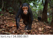 Eastern chimpanzee (Pan troglodytes schweinfurtheii) infant male 'Fifty' aged 4 years walking along a trail . Gombe National Park, Tanzania. September 2014. Стоковое фото, фотограф Anup Shah / Nature Picture Library / Фотобанк Лори