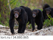 Eastern chimpanzee (Pan troglodytes schweinfurtheii) males knuckle walking along the shore of Lake Tanganyika . Gombe National Park, Tanzania. May 2014. Стоковое фото, фотограф Anup Shah / Nature Picture Library / Фотобанк Лори