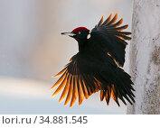 Black Woodpecker male (Dryocopus martius) Finland, January. Редакционное фото, фотограф Markus Varesvuo / Nature Picture Library / Фотобанк Лори