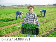 Female farmer carrying crate with picked arugula. Стоковое фото, фотограф Яков Филимонов / Фотобанк Лори