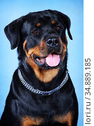 Portrait of a Rottweiler on a blue background with an open mouth. Стоковое фото, фотограф Юлия Стусь / Фотобанк Лори