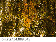 Early autumn. Yellow birch leaves in counter light. Стоковое фото, фотограф Сергей Трофименко / Фотобанк Лори