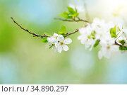 Blooming twig of fruit tree in the garden. Стоковое фото, фотограф Olena Mykhaylova / easy Fotostock / Фотобанк Лори