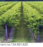 Vines growing near Casali Franceschinis, Udine Province, Italy. Стоковое фото, фотограф Ken Welsh / age Fotostock / Фотобанк Лори