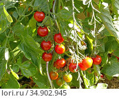 Tomato plant with ripe and unripe fruits. Стоковое фото, фотограф Hans-Joachim Schneider / easy Fotostock / Фотобанк Лори