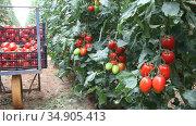 Ripe red tomatoes in boxes on wheelbarrow in farm greenhouse. Стоковое видео, видеограф Яков Филимонов / Фотобанк Лори