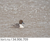 Northern pintail (Anas acuta) drake bathing in a marshland pool in heavy rain, Gloucestershire, UK, January. Стоковое фото, фотограф Nick Upton / Nature Picture Library / Фотобанк Лори