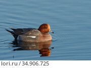 Wigeon (Anas penelope) drake swimming on flooded pastureland, Catcott Lows National Nature Reserve, Somerset, UK, January. Стоковое фото, фотограф Nick Upton / Nature Picture Library / Фотобанк Лори