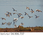 Dunlin (Calidris alpina) flock flying in to land on a freshwater pool, Pilning Wetland, Somerset, UK, January. Стоковое фото, фотограф Nick Upton / Nature Picture Library / Фотобанк Лори