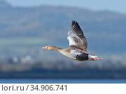 Greylag goose (Anser anser) in flight over the Severn Estuary, Gloucestershire, UK, January. Стоковое фото, фотограф Nick Upton / Nature Picture Library / Фотобанк Лори