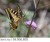 European swallowtail butterfly (Papilio machaon) nectaring on a Sea pincushion flower (Scabiosa maritima, Mondrago Natural Park, Majorca south coast, May. Стоковое фото, фотограф Nick Upton / Nature Picture Library / Фотобанк Лори