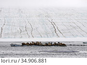 Walruses (Odobenus rosmarus) hauled out on iceberg, Franz Jozef Land, Arctic Russia. August. Стоковое фото, фотограф Sergey  Gorshkov / Nature Picture Library / Фотобанк Лори