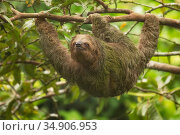 Brown-throated three-toed sloth (Bradypus variegatus) hanging from tree branch. Costa Rica. Стоковое фото, фотограф Guy Edwardes / Nature Picture Library / Фотобанк Лори