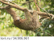 Brown-throated three-toed sloth (Bradypus variegatus). Costa Rica. Стоковое фото, фотограф Guy Edwardes / Nature Picture Library / Фотобанк Лори