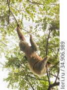 Hoffmann's two-toed sloth (Choloepus hoffmanni) climbing in trees. Manuel Antonio National Park, Costa Rica. Стоковое фото, фотограф Guy Edwardes / Nature Picture Library / Фотобанк Лори